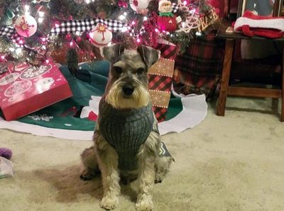 A longtime patient at the Virginia-Maryland College of Veterinary Medicine, Scrappy McDaniel - a miniature schnauzer - pictured in front of a Christmas tree.